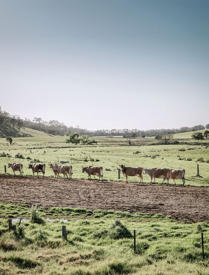 A procession of cows heads for the milking shed near Bermagui.