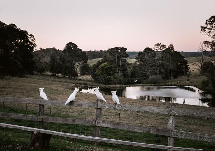 A conference of cockatoos on the road near Bodalla.