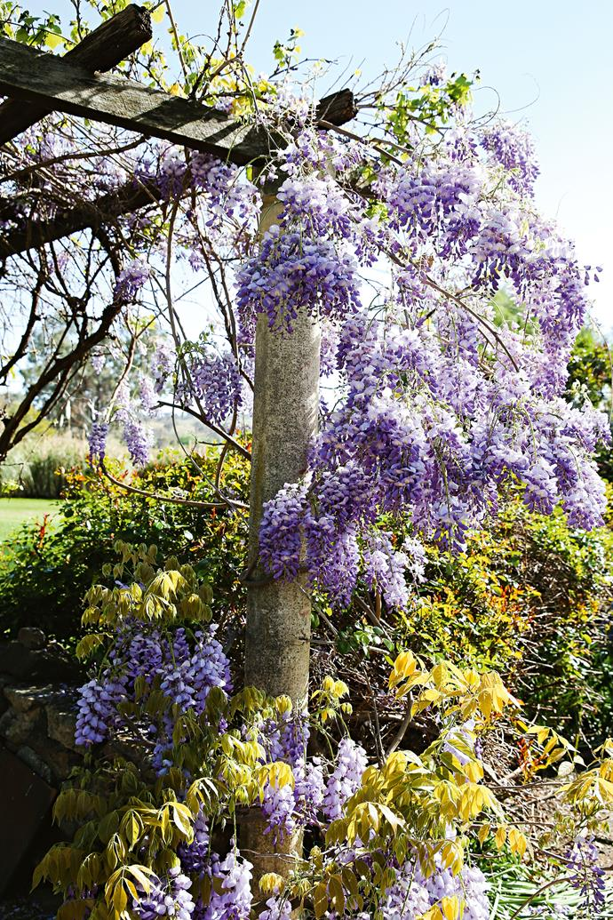 "[Wisteria climbs over a pergola](https://www.homestolove.com.au/australian-formal-garden-13509|target=""_blank"") in the barbecue area. Peter says both of his parents were keen gardeners who put in long days growing beautiful flowers each season. ""Coming from  Victoria, they brought with them a strong culture of  gardening from their youth,"" Peter says. ""It was a fabulous place to grow up — it's where I fished, rode horses and so on."" In 1987, Jo and Ruth passed the property on to Peter and Kate, who raised their own four children there."