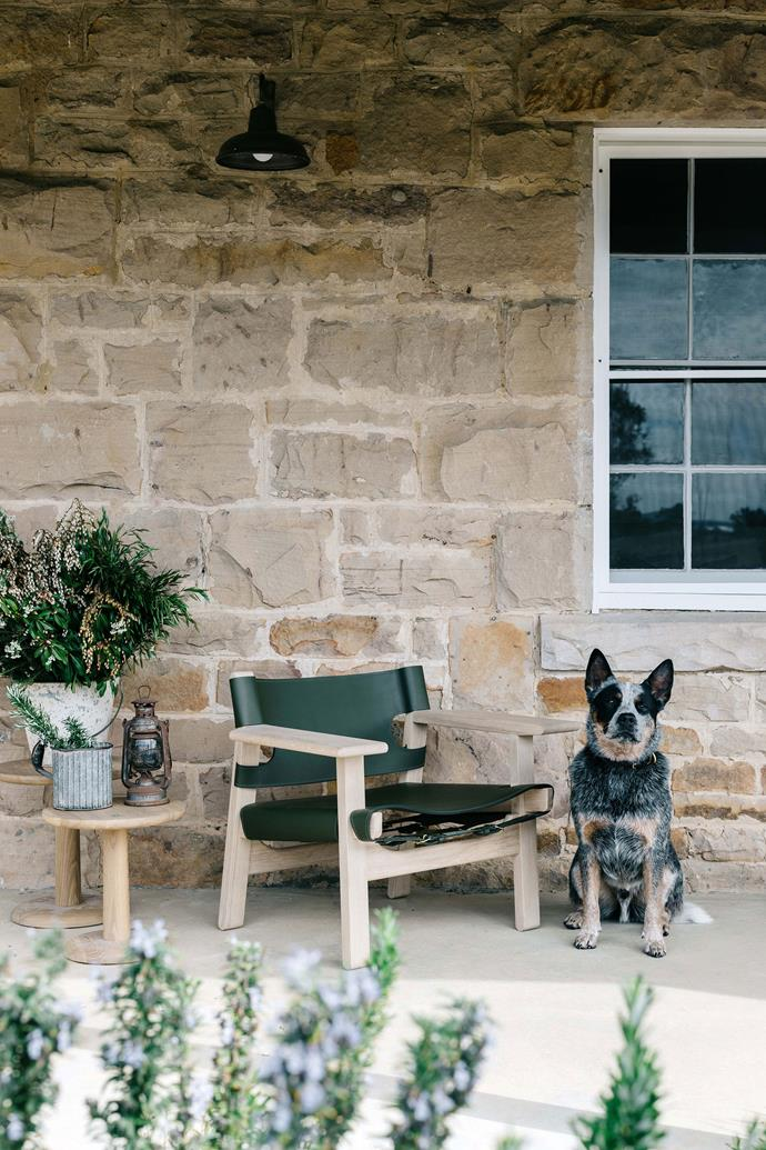 "Mate is king of the house. ""He has both of us wrapped around his little paws,"" says Edwina. A 60th anniversary Spanish Chair from [Great Dane](https://greatdanefurniture.com/