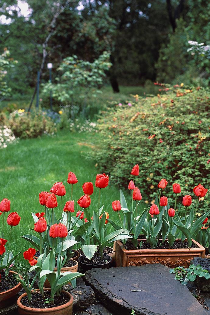 When grown in pots, tulips are great plants for balconies, verandahs and courtyards. *Photo: bauersyndication.com.au*