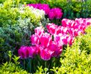 How to grow tulips in garden beds and pots