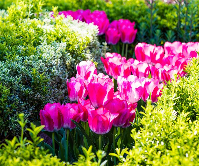Tulips How To Grow Tulips In Garden Beds And Pots Homes To Love