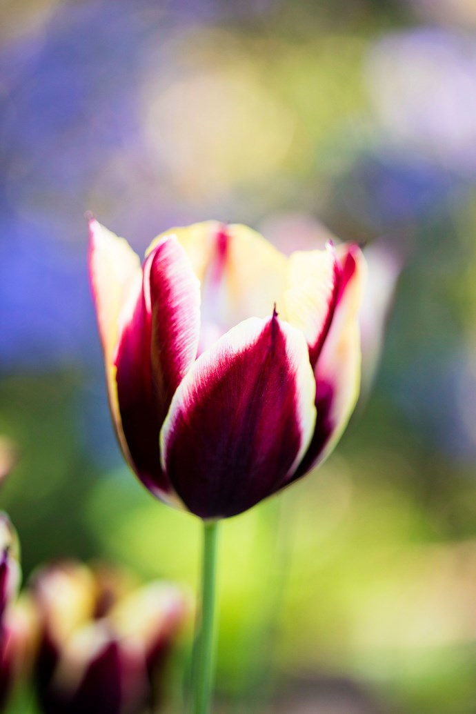 A Tulip Gavota in bloom. *Photo: Claire Takacs / bauersyndication.com.au*