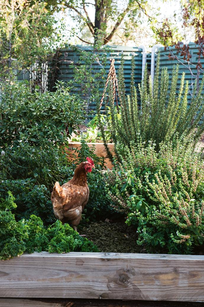 An ISA brown chicken goes exploring.
