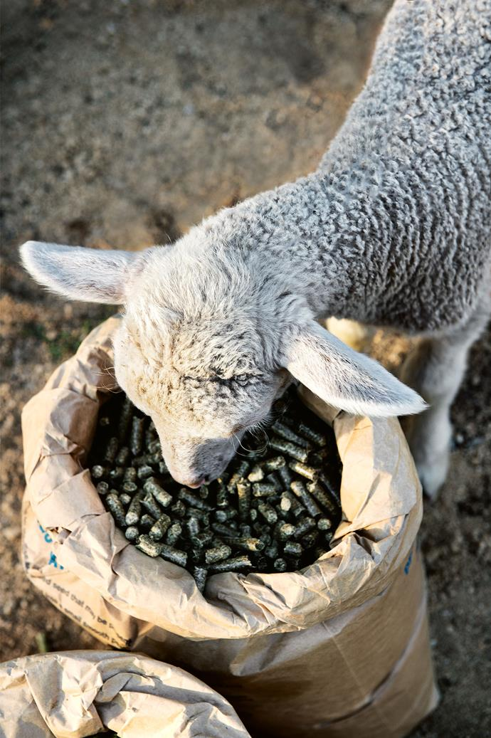 Vari the lamb, named after a German backpacker who visited the farm one summer, munches on pea straw mulching pellets.