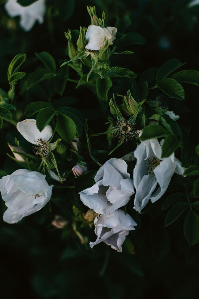 White Rosa rugosa 'Alba'.