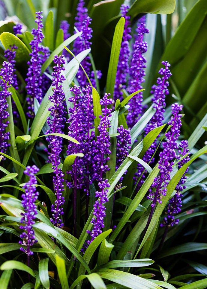Liriope muscari 'Royal Purple' in flower.
