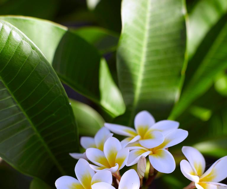 Frangipani Rust What It Is And How To Treat It Homes To Love