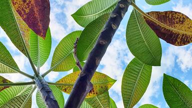Frangipani rust: What it is and how to treat it