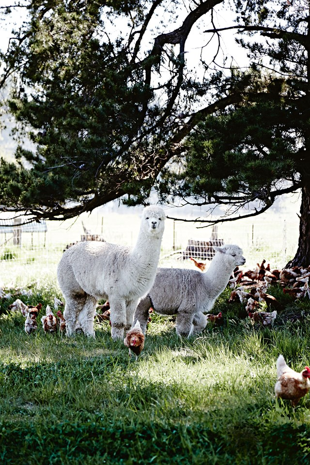 """Chickens enjoying some shade in a paddock at [New England Pastured Eggs](https://www.homestolove.com.au/free-range-egg-farm-tamworth-12312