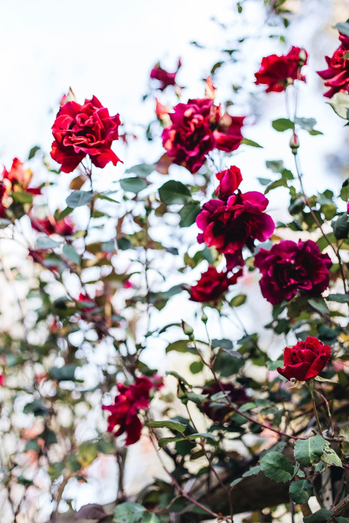 """This red rose """"is one of the mysteries of the garden,"""" says Jane."""