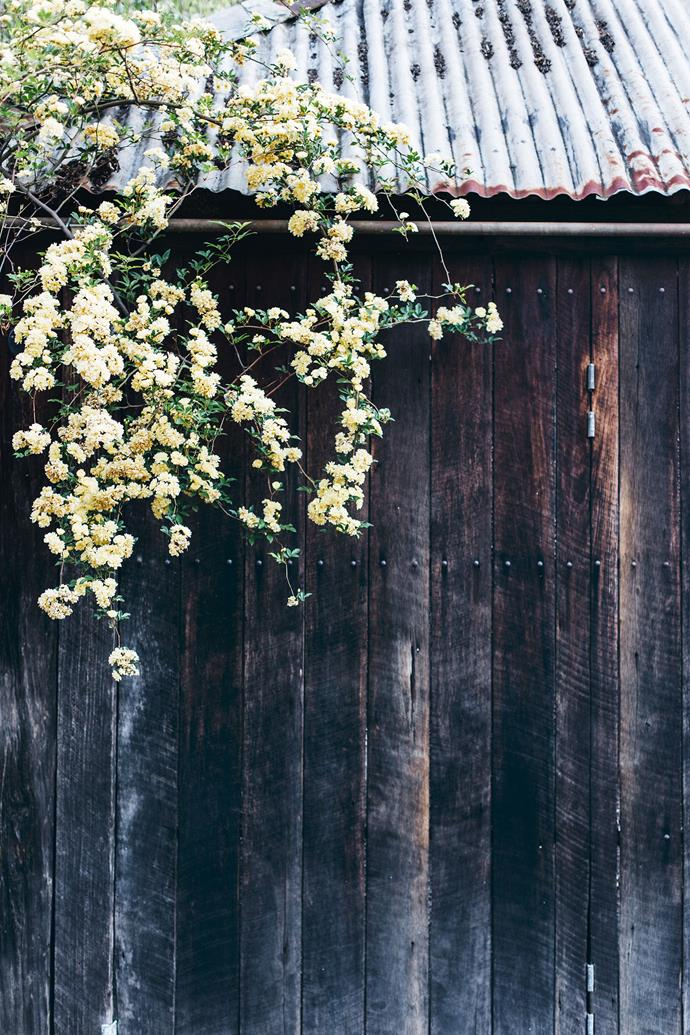 The yellow flowers cascading down the barn are a yellow banksia rose (Rosa banksiae 'Lutea').