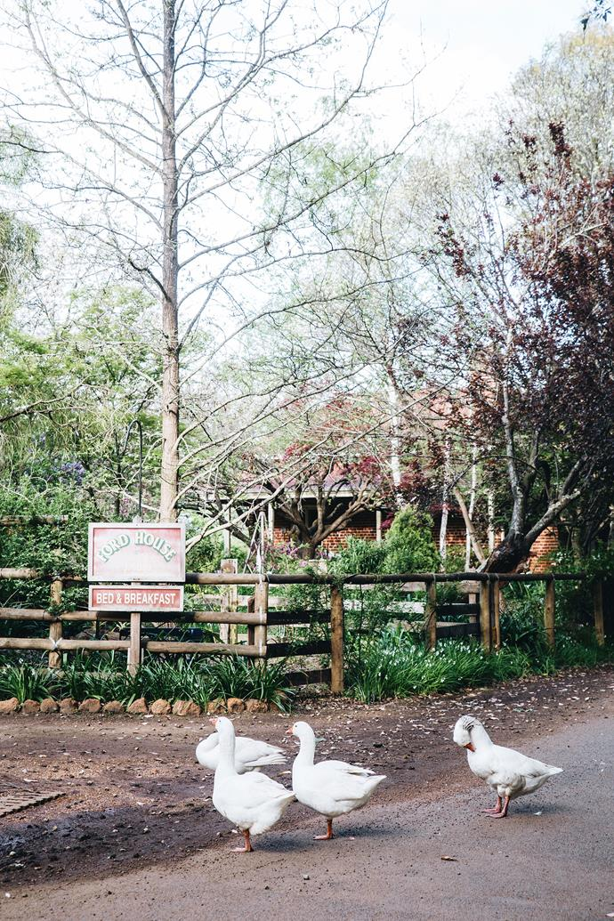 Geese in front of the entrance to the bed and breakfast at Ford House.