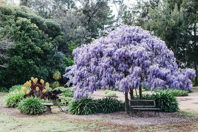 Flourshing wisteria, succulents and agapanthus are part of the garden Jenny and Ken fondly called The Argument.