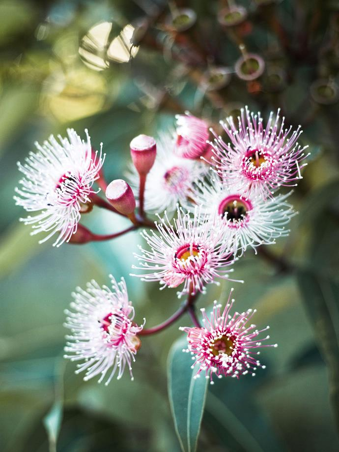 Corymbia 'Summer Beauty'.