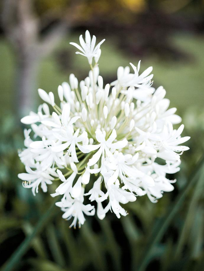 Close-up of a white Agapanthus africanus.