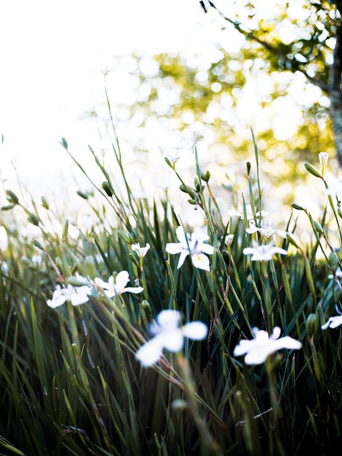 Dietes iridioides, a popular perennial ornamental that is also known as wild iris.