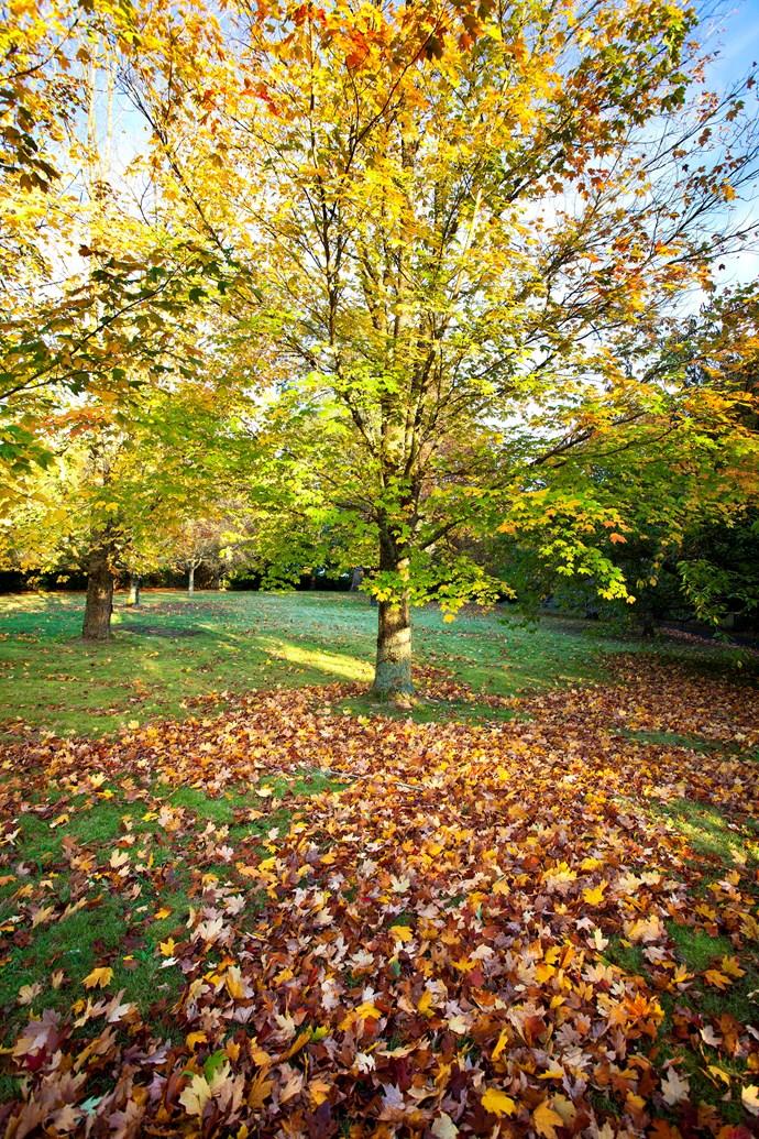 Liquidambar amber trees are synonymous with autumn in Australia. *Photo:* Claire Takacs / *bauersyndication.com.au*