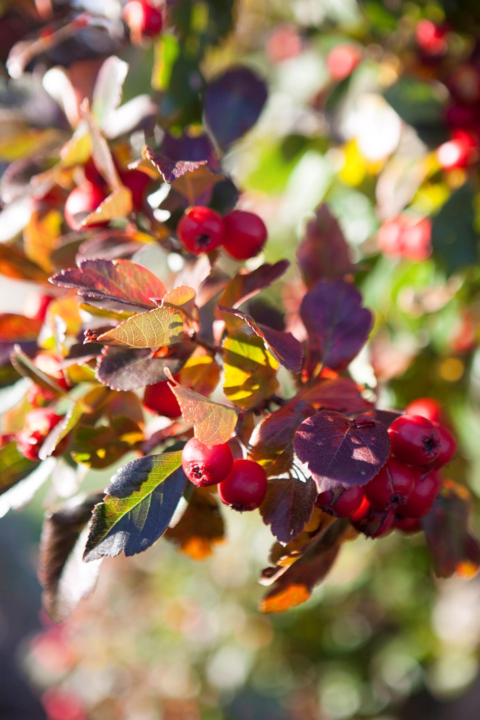 Rich red foliage appears on hawthorns in autumn, along with their occasional ripe, red fruit. *Photo:* Simon Griffiths / *bauersyndication.com.au*