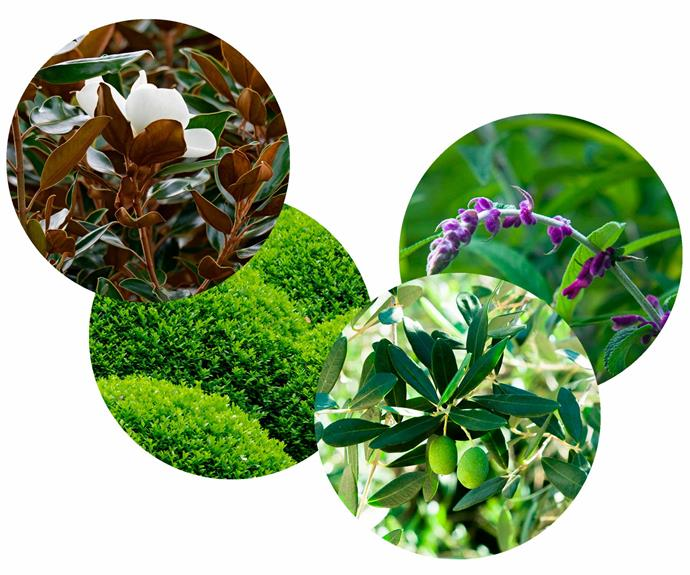 **Mass appeal** For maximum impact, group like plants together in clumps or as a hedge. **Plant palette** (left to right) *Magnolia* 'Teddy Bear'. *Buxus sempervirens*. *Olea europaea*. *Salvia leucantha* (Mexican sage bush*.