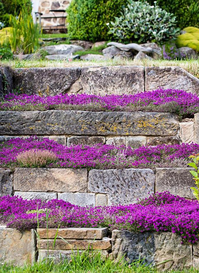 Vibrant flowers of red creeping thyme (Thymus 'Coccineum') contrast with the walls of salvaged stone near the house.
