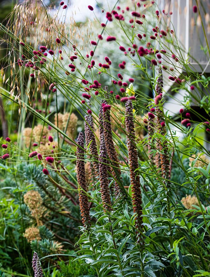 Spires of chocolate foxglove (Digitalis parviflora) with the cranberry drumsticks of Sanguisorba 'Arnhem' and Stipa gigantea.