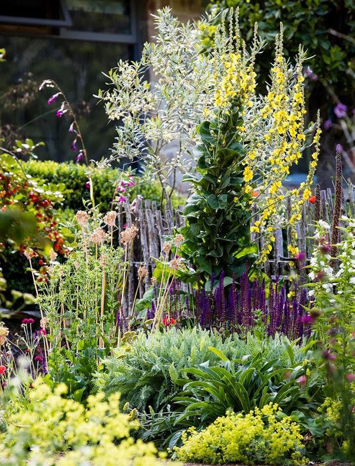 Yellow Verbascum olympicum towers over purple Salvia 'Caradonna', pink Nectaroscordum siculum and lime Alchemilla mollis, with a silvery olive tree at the back.