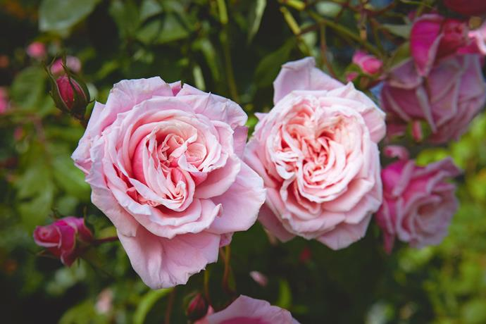 "'Blossomtime', a modern repeat-flowering climbing rose, bred by crossing 'New Dawn' with a hybrid tea. Maintenance of the garden, including the inevitable deadheading, is constant. ""I have to wear builder's thick leather gloves and I still get scratches along my arms. And in winter fierce winds are a major problem here,"" says Clive."