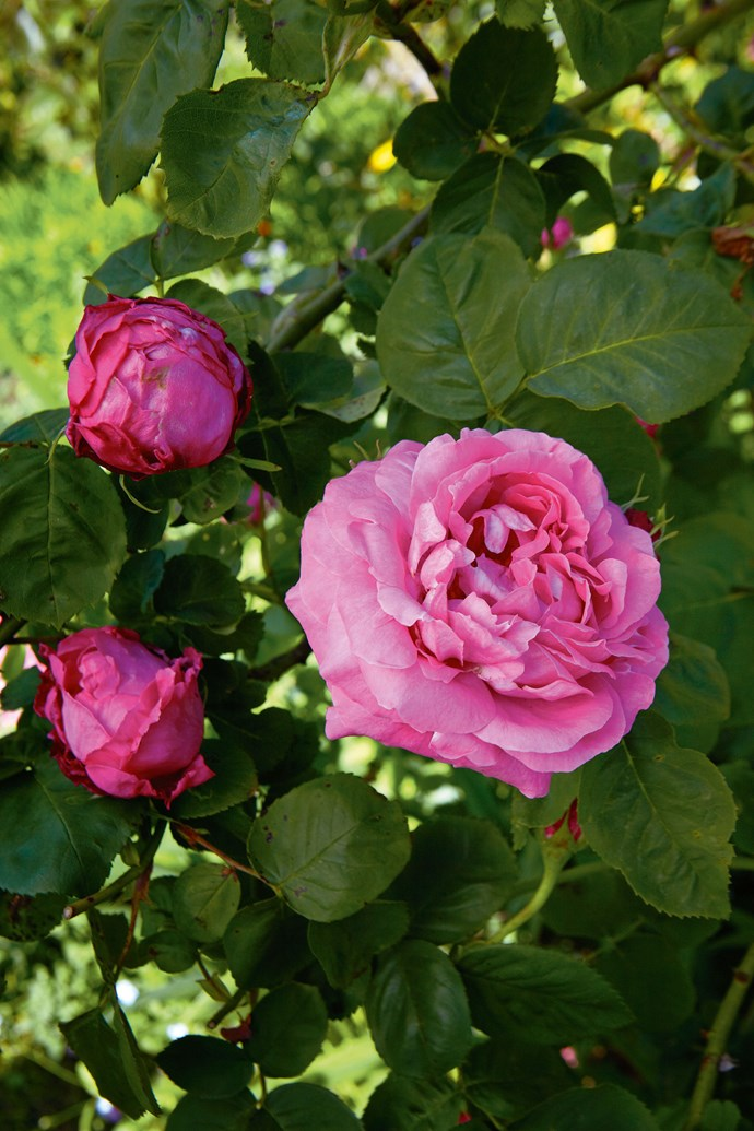 'Madame Isaac Periere', a much-loved Bourbon rose from the late 19th century, renowned for its sumptuous scent and opulent flowers.