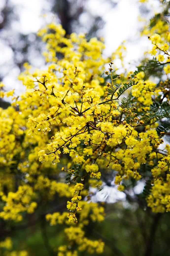 Wattle blooms in Morton National Park where Fiona gains inspiration on frequent walks.