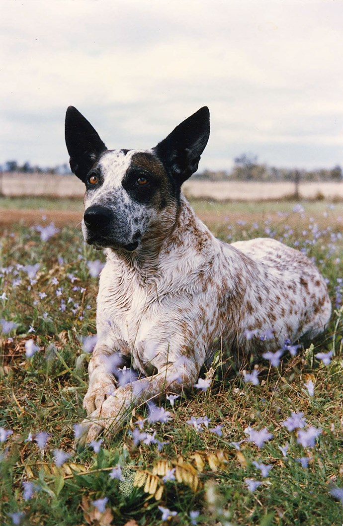 """Missy in a bed of bluebells. """"Missy loved the little boys on the station,"""" says owner Jan. """"She adopted tiny puppies, cleaned milk off the chins of poddy calves and saw off unwelcome visitors."""""""
