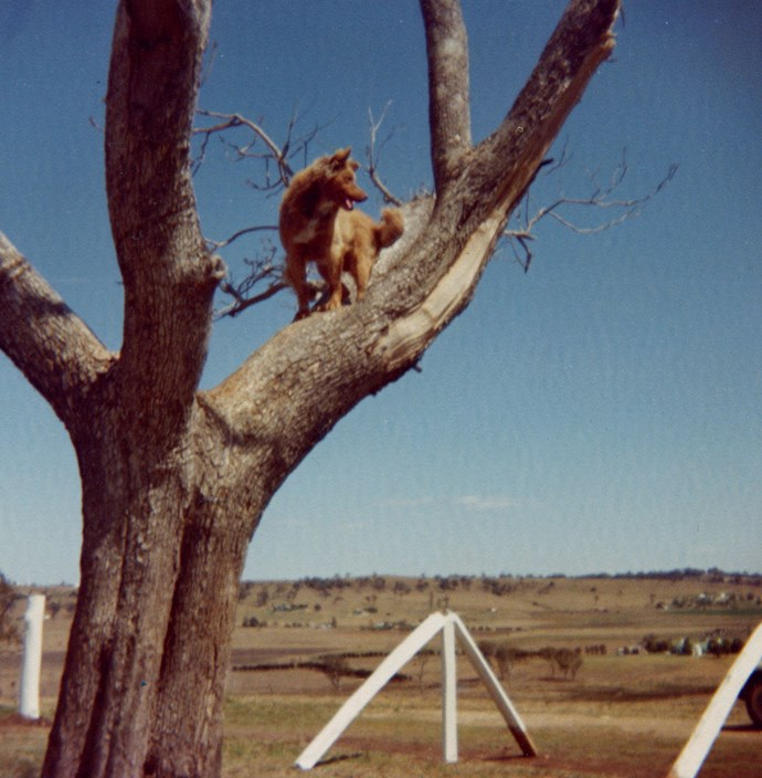 Bill up the tree, supervising fence construction.