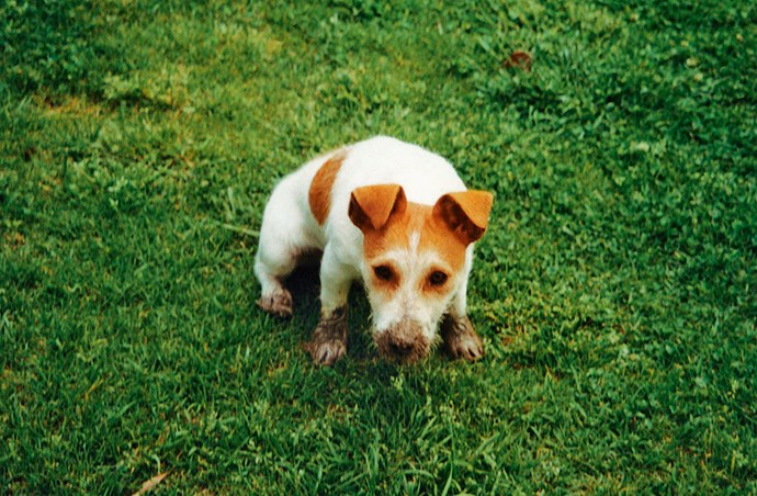 Toby the Jack Russell loved to dig holes, even as a little pup.