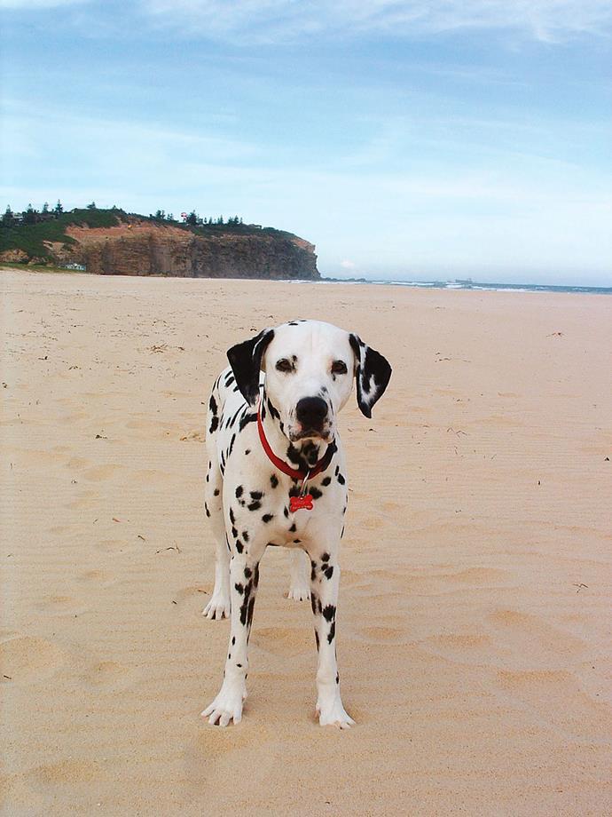 Still a traveller — Dalmatian Ally on Redhead Beach at Newcastle.