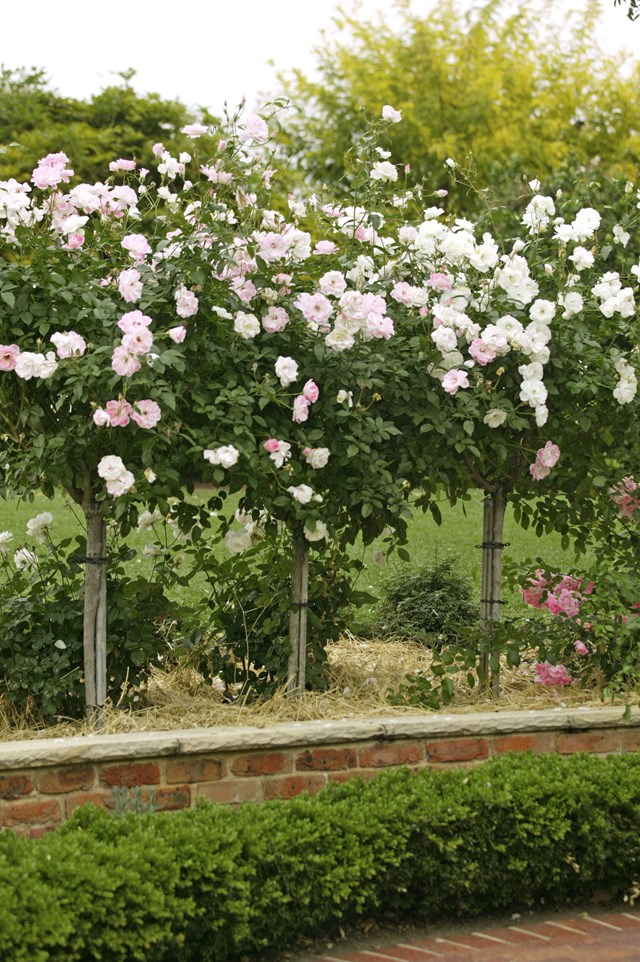 A row of standard pink Iceberg Roses in a raised garden bed.