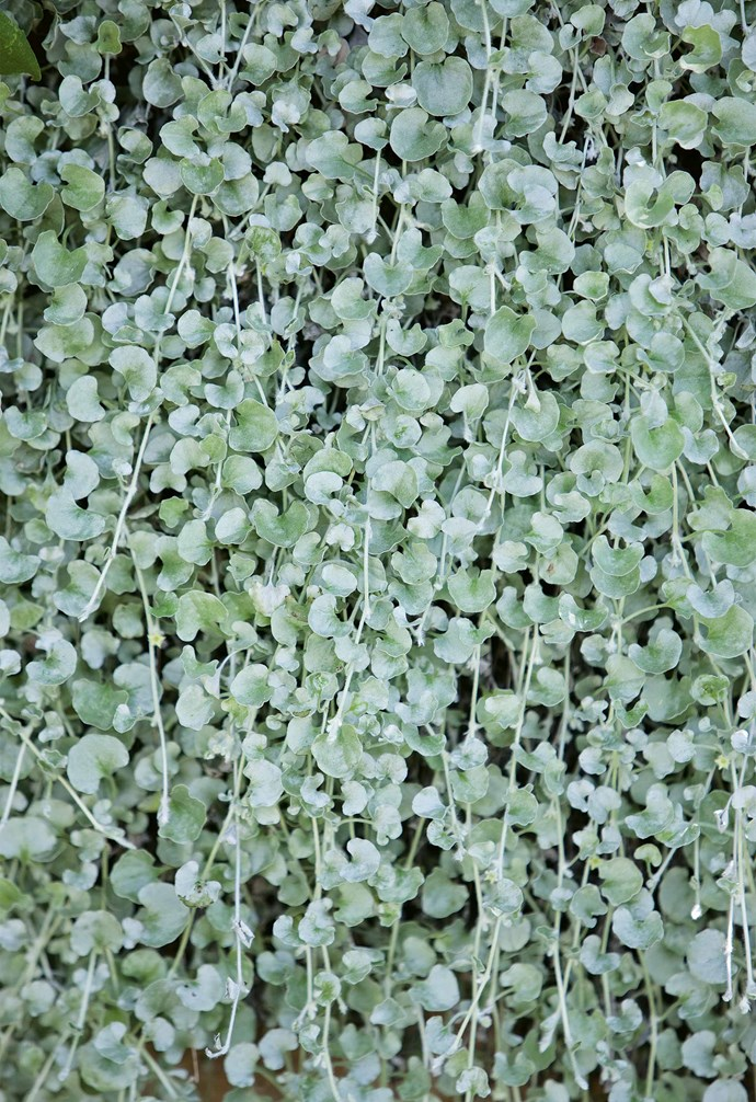 "**Silver falls** (*Dichondra argentea*) A creeping plant with long, silver trailing stems. Use as a [ground cover](https://www.homestolove.com.au/how-to-choose-the-right-ground-cover-plants-14419|target=""_blank"") or hang in pots for instant impact. *Photography: Jason Busch*."