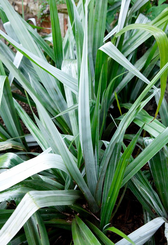 "**Silver Spears** (*Astelia chathamica*) An ornamental [perennial](https://www.homestolove.com.au/perennial-plants-2079|target=""_blank"") with silver, flax-like foliage, it will fit right into a coastal or Mediterranean-style garden. It grows well in a sheltered spot with well-drained, moist soil. Pair with salvias and lavender. *Photography: Chris Ridley/Alamy*."