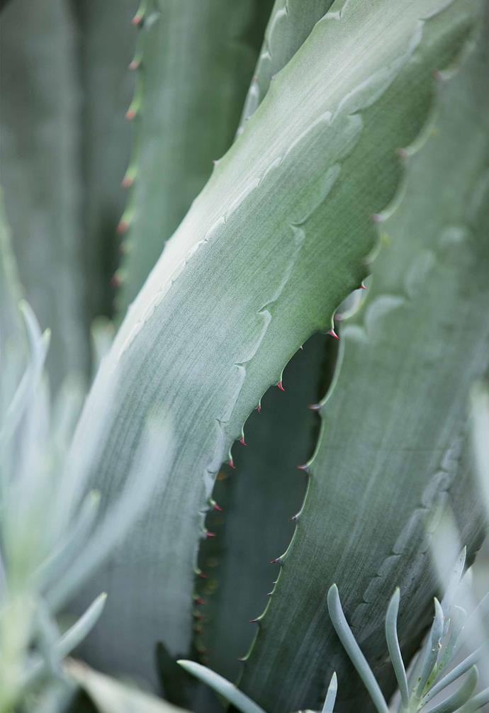 "**Century plant** (*Agave Americana*) With its majestic, sculptural shapes, this desert plant makes a dramatic focal point in a garden bed or decorative pot. Keep away from footpaths and walkways, as the spines are sharp. They can also be [hazardous to pets](https://www.homestolove.com.au/plants-poisonous-to-pets-7131|target=""_blank""). *Photography: Jason Busch*."