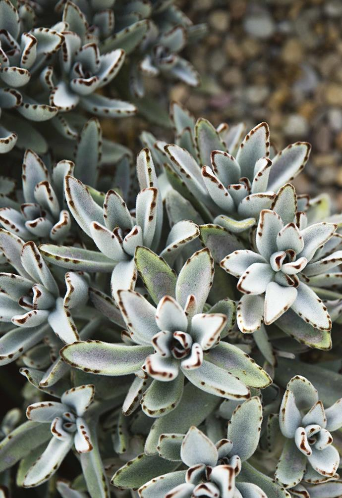 **Panda plant** (*Kalanchoe tomentosa*) Easy to grow and super-resilient, its soft, silvery leaves have been likened to animal's ears, hence the common name, Panda plant. *Photography: Jason Busch*.