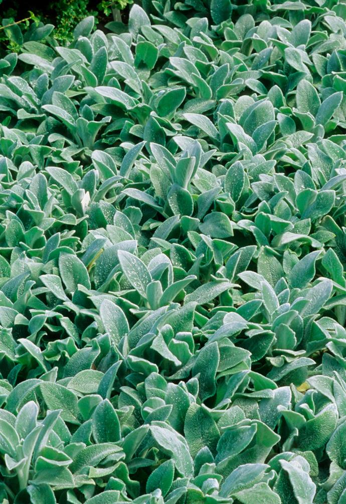 "**Lamb's ear** (*Stachys byzantina*) One of the most popular silver-leaved perennials, it works well as a low border or ornamental [groundcover plant](https://www.homestolove.com.au/a-guide-to-groundcovers-3632|target=""_blank""). Kids will love stroking its furry foliage. *Photography: Holmes Garden Photos/Alamy*."