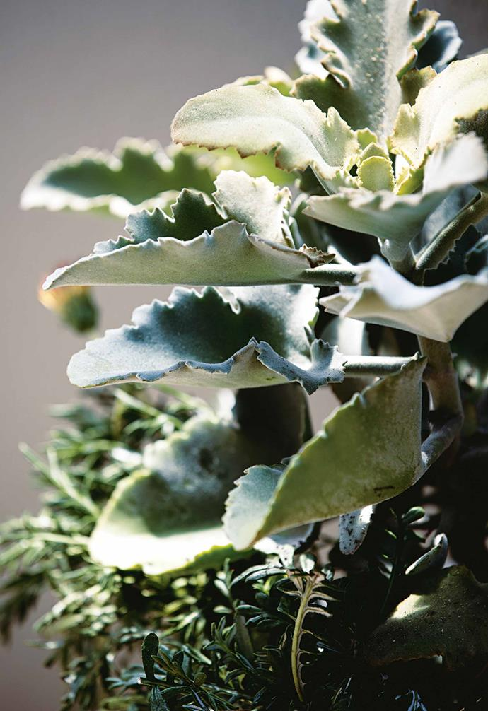 "**Felt plant** (*Kalanchoe beharensis*) A slightly eccentric-looking addition with velvet leaves and bold foliage. This plant can grow to a height of 90cm,and is ideal in pots or as part of a [succulent garden](https://www.homestolove.com.au/front-yard-succulent-garden-13749|target=""_blank""). *Photography: Sam McAdam-Cooper*."