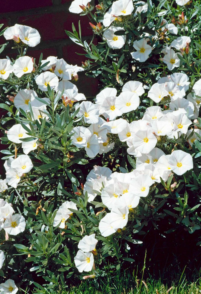 **Silverbush** (*Convolvulus cneorum*) is known for its attractive silvery-green foliage and wide, open, white flowers that cover it from spring to summer. Easy to grow and very hardy, it prefers a full sun/partly shaded position and requires very little water. *Photography: Avalon/ Photoshot License/Alamy*.