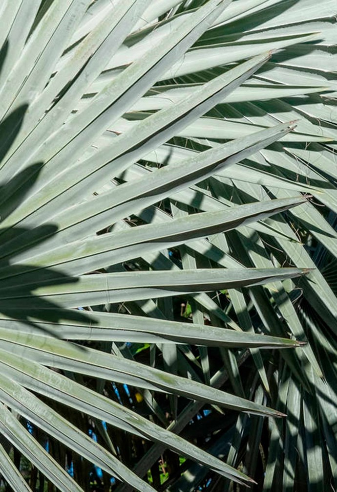 **Bismarck palm** (*Bismarckia nobilis*) Hailing all the way from Madagascar, the Bismarck is a striking palm that will make a great feature in any garden that has enough space. Its large, blueish fronds grow to 3 metres wide and it can reach a height of 20 metres. *Photography: Courtland Roberts/Alamy*.