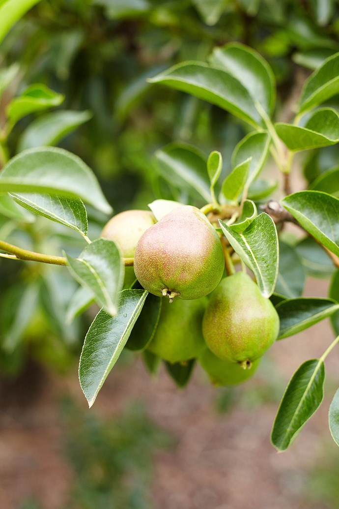 Deciduous fruit trees can be a challenge to grow if you live in a warm climate. Try a low-chill variety if you're really determined to give it a go. *Photo: Cath Muscat / bauersyndication.com.au*