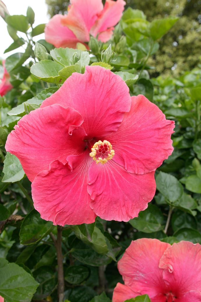 To increase your chances of successfully growing Hawaiian hibiscus, try growing it in a pot. *Photo: Brent Wilson / bauersyndication.com.au*