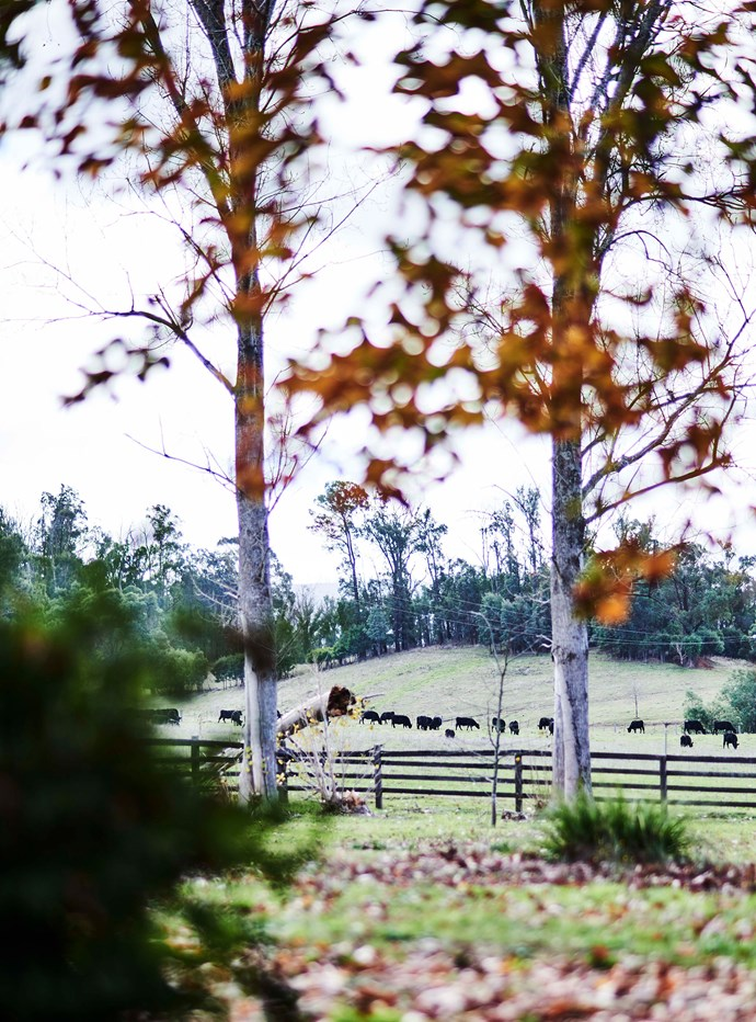 Angus cattle grazing at Bridget McIntyre and Anthony McDonald's Yarra Valley home Tarnpirr Farm.