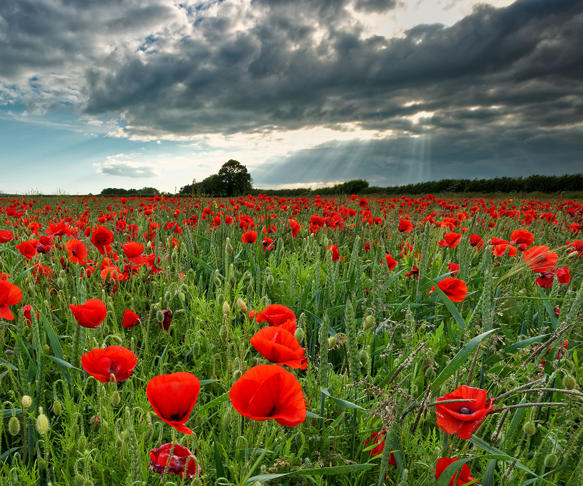 5 Anzac Day floral symbols their meanings