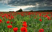5 Anzac Day floral symbols and their meanings