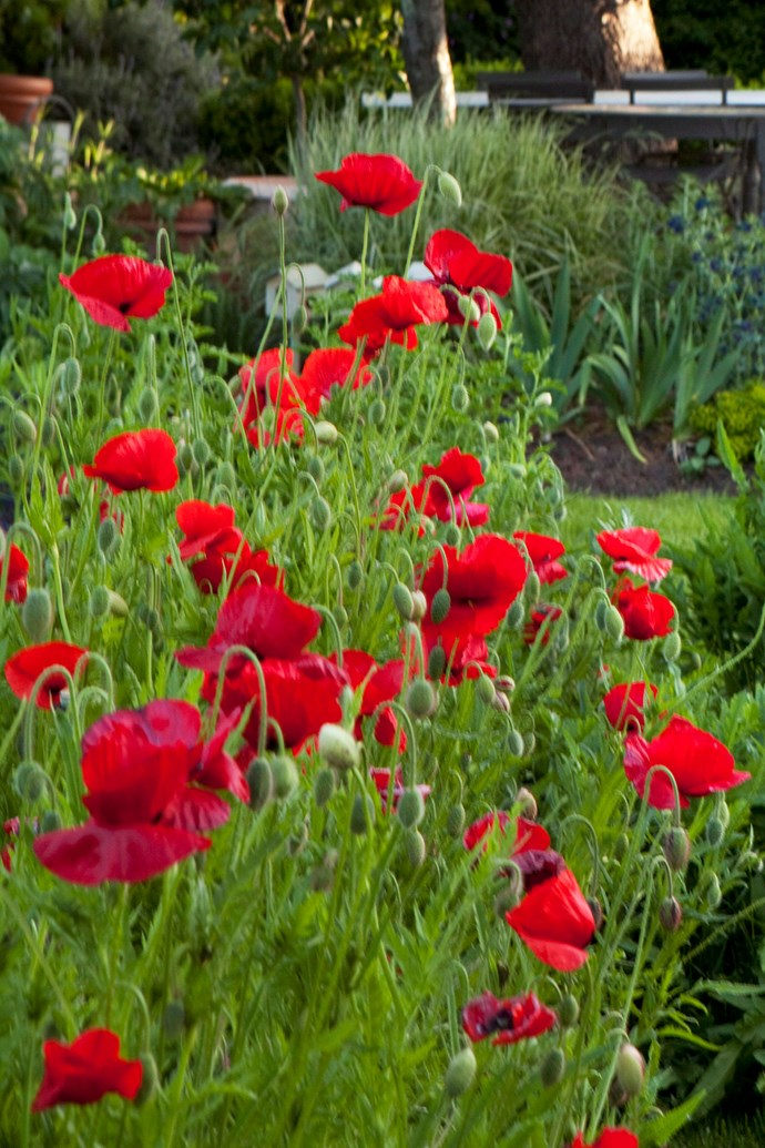 Flanders poppies in bloom. Poppies are perhaps the most well-known of the Anzac flowers. Traditionally, it is worn on the left lapel on Remembrance Day. *Photo: Simon Griffiths / bauersyndication.com.au*